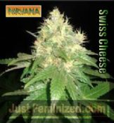 Nirvana Swiss Cheese feminized skunk seeds for sale online